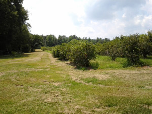 55+ acres of Blueberries
