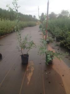 Premiere Blueberry Plant