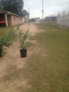 Powder Blue Blueberry Plant