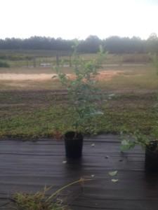 Ocklocknee Blueberry Plant