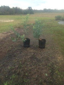 Austin Blueberry Plant