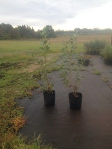 Legacy Blueberry Plant