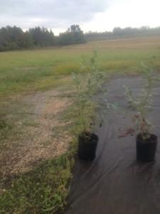 Star Blueberry Plant